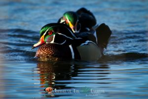 WoodDucks_0283.jpg